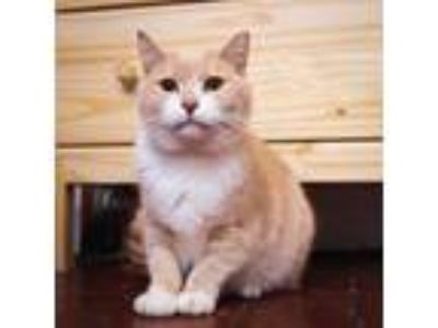 Adopt Shaquille a Domestic Short Hair