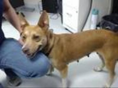 Adopt a Brown/Chocolate - with White Basenji / Mixed dog in Pasadena