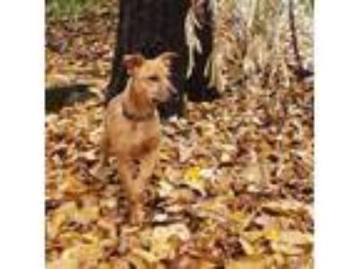 Adopt Piper a Terrier (Unknown Type, Medium) / Black Mouth Cur / Mixed dog in