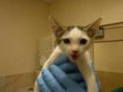 Adopt Kay a White Domestic Shorthair / Domestic Shorthair / Mixed cat in