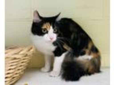 Adopt Chocolate Chip a Domestic Shorthair / Mixed (short coat) cat in Kingsland