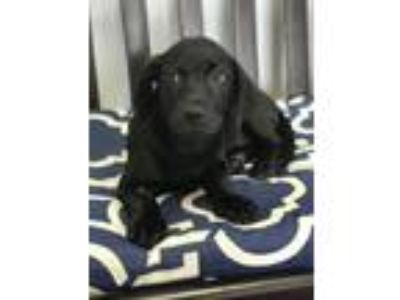 Adopt parsnip a Black Labrador Retriever / Basset Hound / Mixed dog in