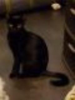 Frida Tabby - Bombay Cat