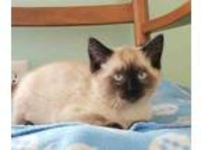 Adopt Margot a Brown or Chocolate Siamese / Mixed cat in Brimfield