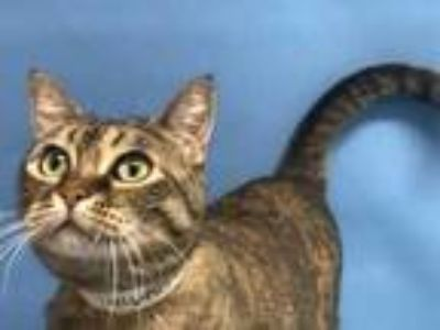 Adopt Clarice a Orange or Red Domestic Shorthair / Domestic Shorthair / Mixed