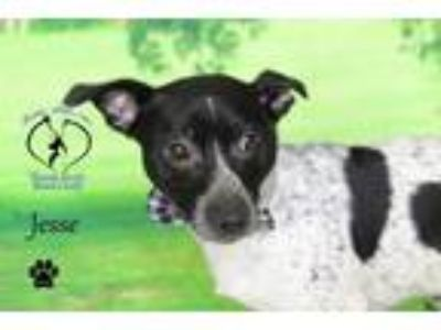 Adopt Jesse a Jack Russell Terrier