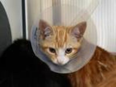 Adopt KATHY a Orange or Red Tabby Domestic Shorthair / Mixed (short coat) cat in