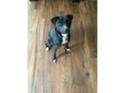 Adopt Ghost a Black - with White Labrador Retriever / Jack Russell Terrier /