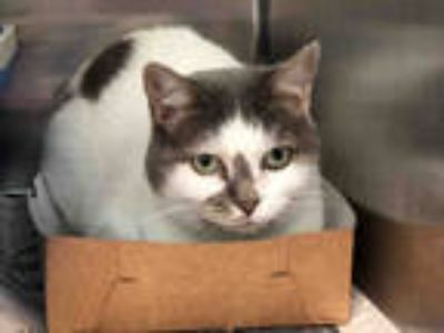 Adopt HILARY a Gray or Blue (Mostly) Domestic Shorthair / Mixed (short coat) cat