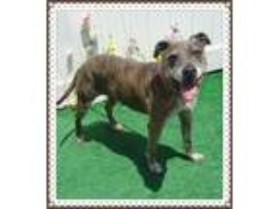 Adopt HARLEY a Gray/Silver/Salt & Pepper - with White Boxer / Mixed dog in