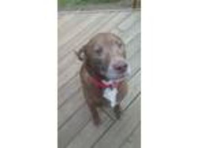 Adopt Jager - COURTESY POST a Pit Bull Terrier