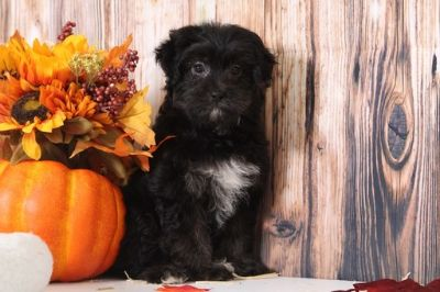 Poodle (Toy)-Yorkshire Terrier Mix PUPPY FOR SALE ADN-104942 - Stella Enchanting Female YorkiePoo Puppy