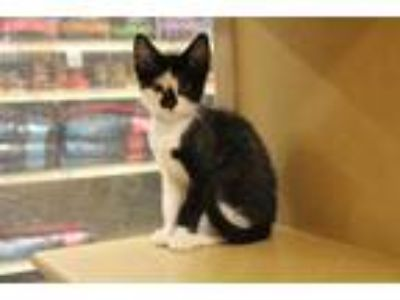 Adopt BERLIOZ a Black & White or Tuxedo Domestic Shorthair / Mixed (short coat)