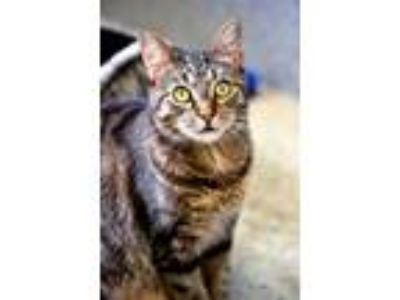 Adopt Gretchen a Domestic Short Hair