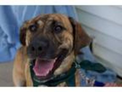 Adopt Rhett a Mountain Cur, Labrador Retriever