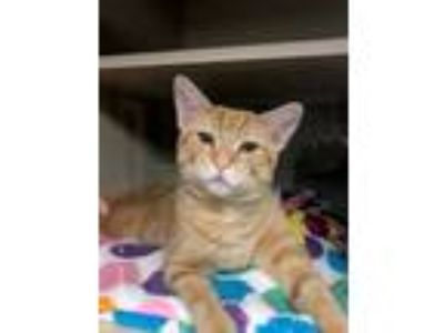 Adopt Charlie a Orange or Red (Mostly) Domestic Shorthair (short coat) cat in