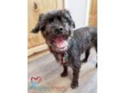 Adopt PS a Black - with Gray or Silver Shih Tzu / Poodle (Miniature) / Mixed dog