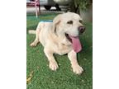 Adopt Lucy a Tan/Yellow/Fawn Labrador Retriever / Mixed dog in Temecula