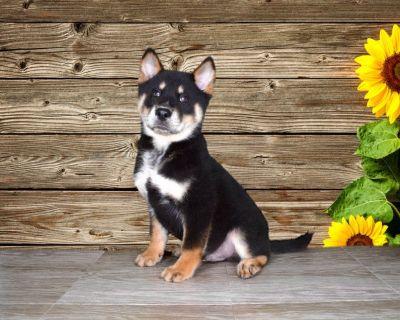 Milo is a rare Chow Chow/Pomeranian/Siberian Husky mix!