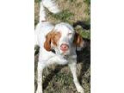 Adopt TX/Zeke a Red/Golden/Orange/Chestnut - with Black Brittany / Setter