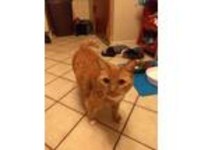 Adopt Princess a Orange or Red Tabby Domestic Mediumhair / Mixed cat in Buffalo