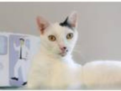 Adopt Moo Moo **TRAINED** a Domestic Short Hair