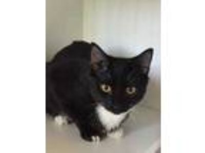Adopt Rinnie a All Black Domestic Shorthair / Domestic Shorthair / Mixed cat in