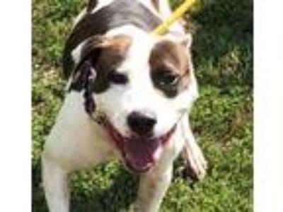 Adopt Wild Bill a Pit Bull Terrier