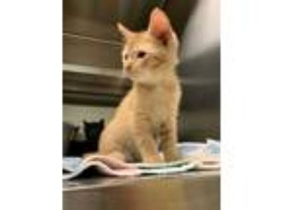 Adopt Snap a Orange or Red Domestic Longhair / Domestic Shorthair / Mixed cat in