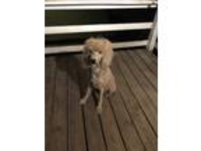 Adopt Nini a Red/Golden/Orange/Chestnut Poodle (Standard) / Mixed dog in