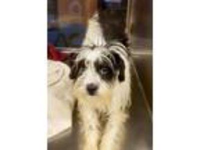 Adopt Daphne a White - with Black Havanese / Shih Tzu / Mixed dog in Middle