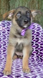 German Shepherd Dog PUPPY FOR SALE ADN-90037 - Take Home AKC Hazel TODAY