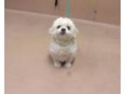 Adopt Poncho a Lhasa Apso, Terrier