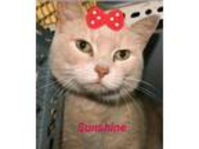 Adopt Sunshine a Orange or Red (Mostly) Domestic Shorthair / Mixed (short coat)
