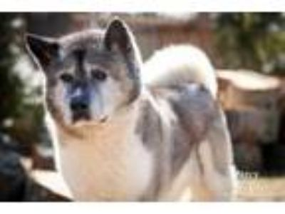 Adopt Percy a Tricolor (Tan/Brown & Black & White) Akita / Mixed dog in Toms
