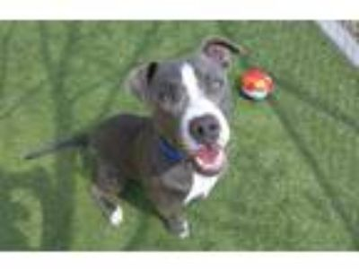 Adopt ROCKIE a Gray/Silver/Salt & Pepper - with White American Pit Bull Terrier