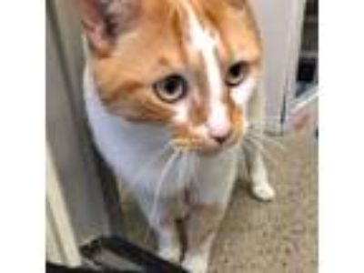 Adopt Roger a Orange or Red Tabby American Shorthair (medium coat) cat in Sharon
