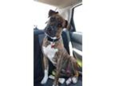 Adopt Rocky a Brindle - with White Boxer / Great Dane / Mixed dog in Key Largo