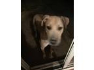 Adopt Bailey a Tan/Yellow/Fawn - with White Terrier (Unknown Type