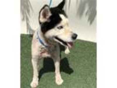 Adopt a White - with Black Husky / Mixed dog in Visalia, CA (25333775)