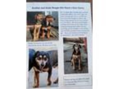 Adopt Ruger a Black - with Tan, Yellow or Fawn Beagle / Rhodesian Ridgeback dog