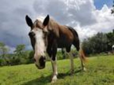Gentle Horse for Lease