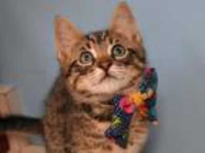 Adopt Gregory Chimney a Domestic Shorthair / Mixed cat in Portland