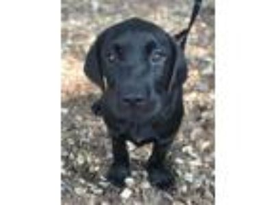 Adopt Theon a Labrador Retriever, Catahoula Leopard Dog