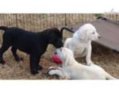 AKC Yellow and Black Lab Puppies