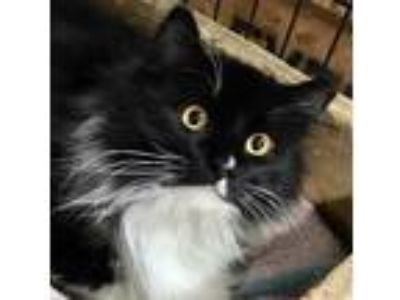 Adopt Dempsey a Black & White or Tuxedo Domestic Longhair (long coat) cat in