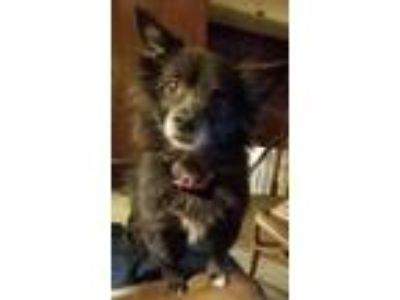 Adopt Spangles - DFW a Pomeranian