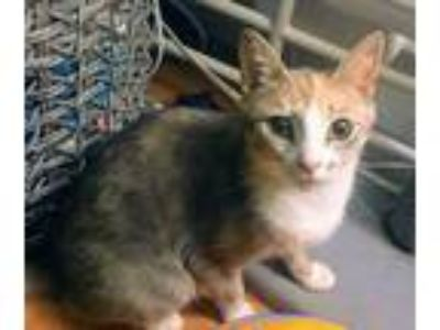 Adopt Zelda and daughter a Domestic Short Hair