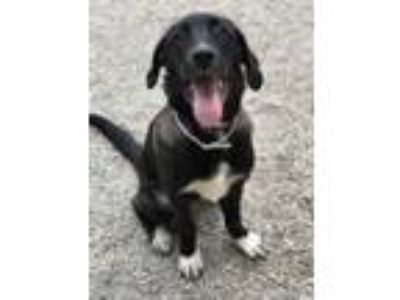 Adopt sasha a Black Retriever (Unknown Type) / Mixed dog in Greenville