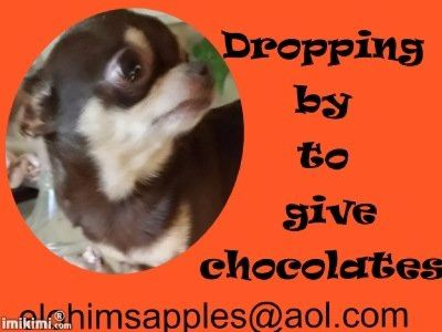 Teacup   Chihuahua Adult Male for Sale